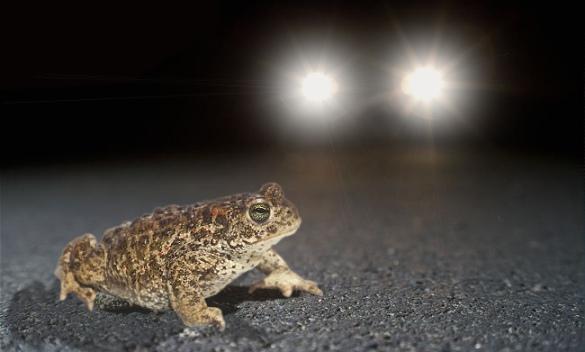 Tudserne har begyndt deres vandring mod vandhullet. Turen er farefuld og mange tudser - særligt hannerne, er udsatte i trafikken da de ofte sidder for længe ved vejen.
