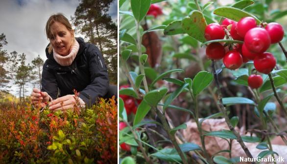 Tyttebær er en stedsegrøn dværgbusk på 20-30 cm. De septembermodne bær er velegnede til gelé og marmelade.