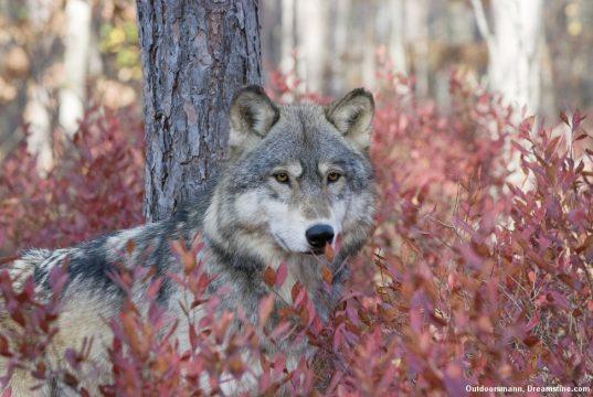 nøgen blandt ulve tante tråd