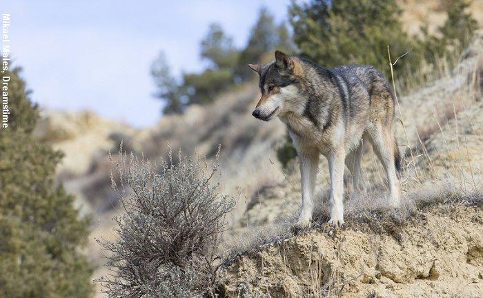 Der er fundet dna fra mindst 17 forskellige ulve i Danmark. Foto: Mikael Males, Dreamstime.