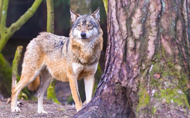 Der er formentlig kun 4 ulve i Danmark imod de 40 individer som DCE tidligere har antaget. Foto: GraphicStock photographed in animal park. Wild wolf