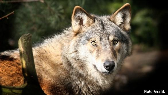 DNA-analyser viser overraskende, at det var hunde og ikke ulve, der stod bag midtjyske ulveangreb.