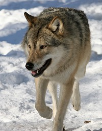 I Europa er der i dag, i følge undersøgelsen, over 11.000 ulve, hvilket er dobbelt så mange som i USA.