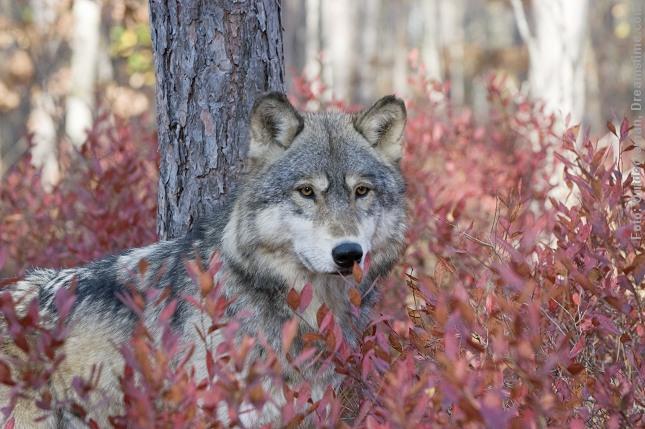 Måske har der kun været enkelte ulve i Danmark viser nye dna-undersøgelser. Foto: Outdoorsmann, Dreamstime.com.