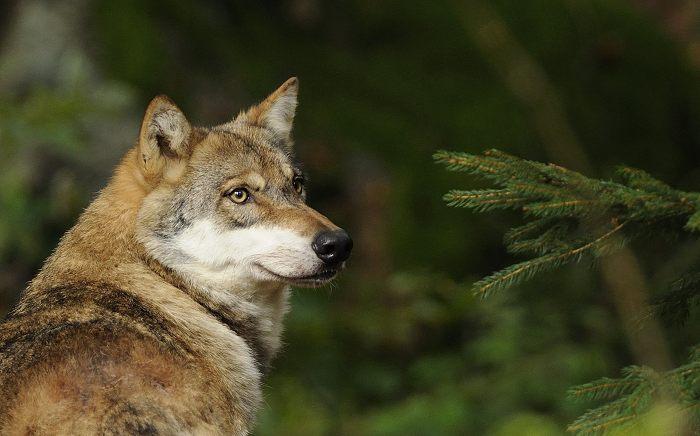 dømt for at skyde ulv