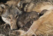 Et ulvepar har fået mindst 6 hvalpe i et naturområde i Vestjylland.