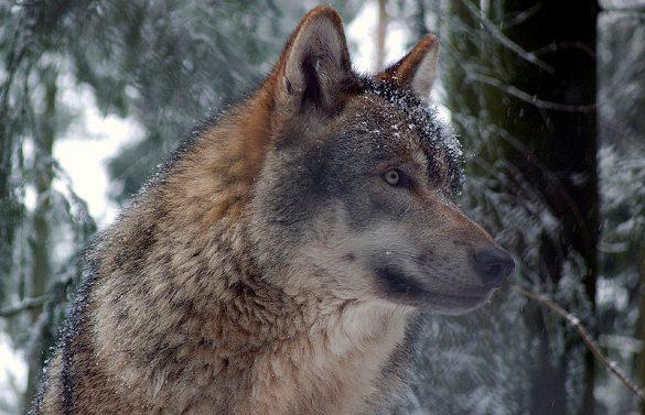 Har Danmark fået sin første ulvefamilie? Lydoptagelser afslører flere ulve sammen. Foto: Gunnar Ries, Wikimedia.