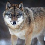 ulveplan
