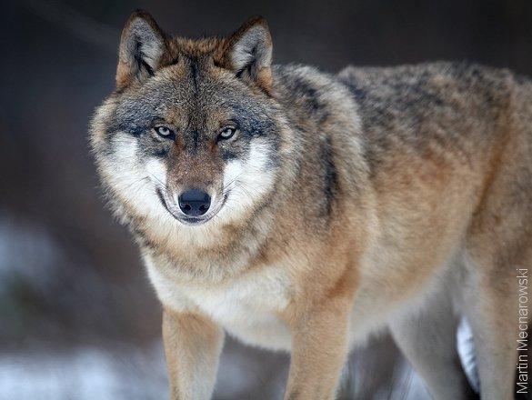 Vildtforvaltningsrådet er enige om en forvaltningsplan for ulve i Danmark. Foto: Martin Mecnarowski.