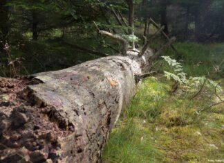 Mere urørt skov i Danmark