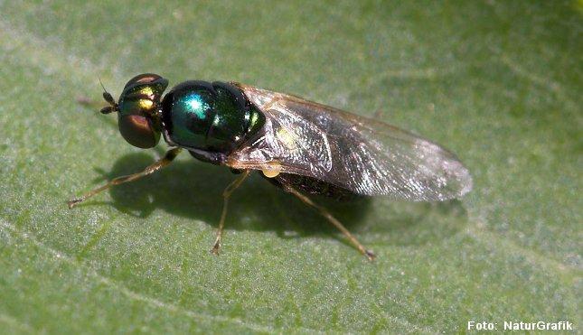 Våbenflue. Våbenfluer har fået navn efter at nogle arter har spidse torne bagest på forkroppen.