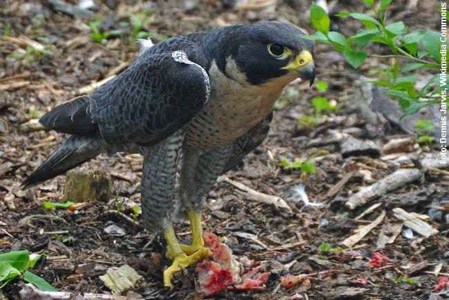 Vandrefalken slår som regel sit bytte i luften. Foto: Dennis Jarvis, Wikimedia.