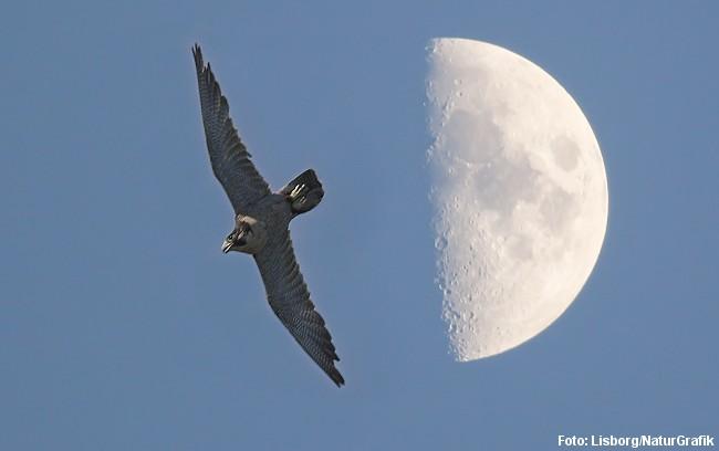 Dykkende vandrefalk. Falken holder vingerne ind mod kroppen når den styrtdukker med høj fart. Foto: Niels Lisborg/NaturGrafik.
