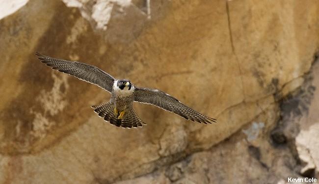 Vandrefalken bygger normalt sin rede på klipper, klinter og klippekløfter, men kan også finde på at yngle direkte på jorden. Foto: Kevin Cole.