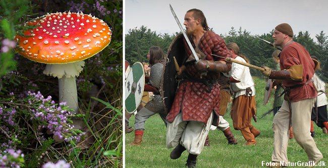 Det hævdes ofte at vikingerne spiste fluesvampe inden de skulle i kamp, men det vurderes i dag at være en skrøne.