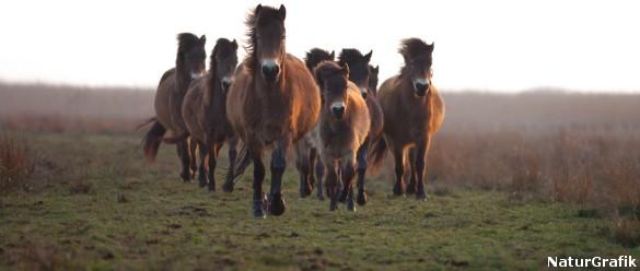 I 2010 blev der udsat semi-vilde exmoor heste på den største af øerne i Kalvholm. Hestene blev hentet fra Langeland - og har siden levet året rundt i Skjern Å deltaet.