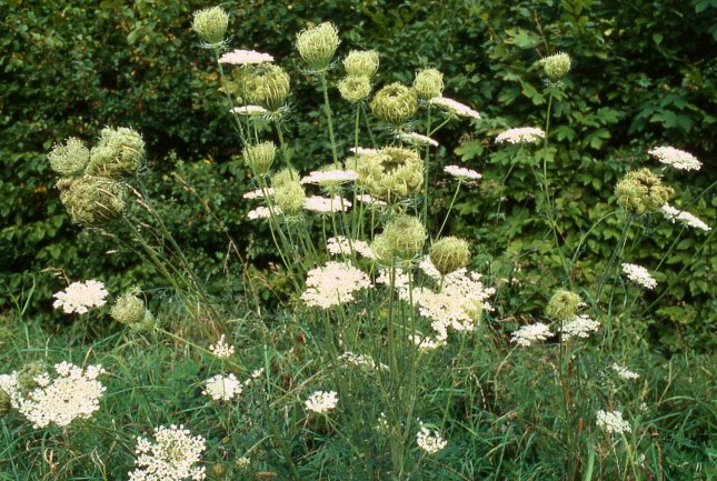 Vild gulerod. Foto: Christian Fischer, Wikipedia.