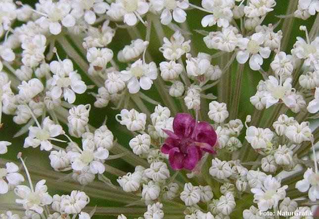 Den rødviolette blomst i midten af den hvide blomsterskærm, har været et mysterium for videnskaben.