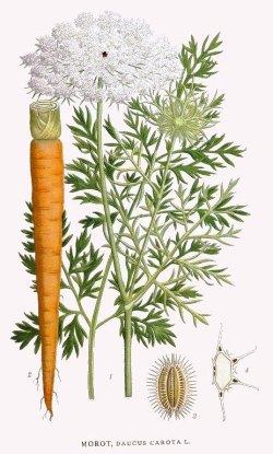 Vild gulerod. Tegning af C. A. M. Lindman, Bilder ur Nordens flora.