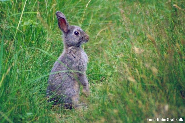 Danske jægere skyder flere vilde kaniner (foto) og flere krondyr, men færre rådyr og harer.