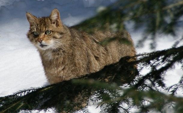 En vildkat er observeret i Nordtyskland. Er vildkattene på vej mod nord? Foto: Aconcagua/Wikipedia.