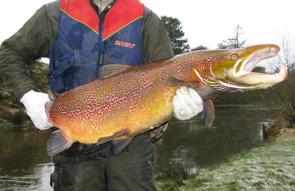 En kæmpe han-laks fra Skjern Å. Denne laks er fanget ved el-fiskeri i forbindelse med fiskeundersøgelser - og sættes tilbage i åen igen. Efter ynglestrabadserne dør mange af laksene.