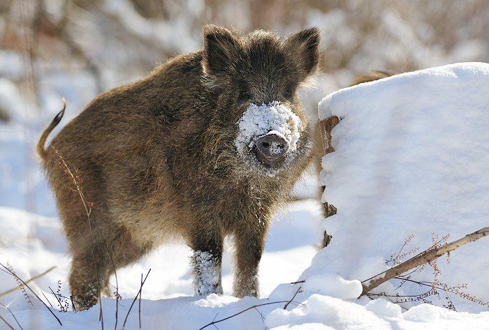 Jægere Og Naturfolk Hilser Vildsvinet Velkommen Naturguidedk