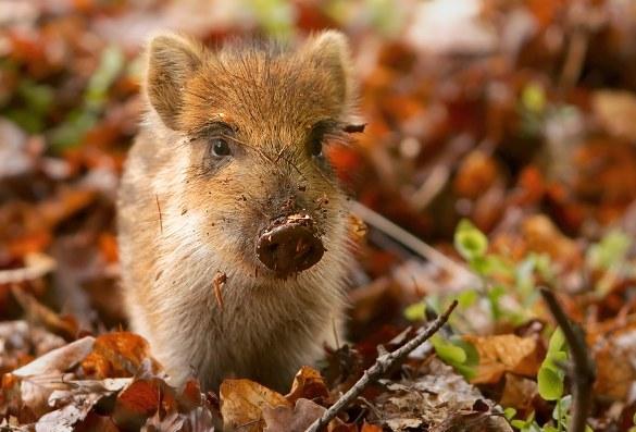 Vildsvinesoen føder normalt 4-7 unger om året og bestanden kan derfor hurtigt vokse. Her en ung gris. Foto: Sander van der Wel.