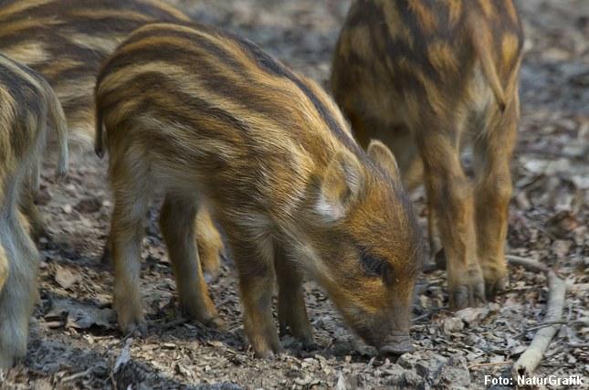 Om foråret i april, maj, føder vildsvinesoen typisk 6-7 grise. De stribede unger begynder at rode i jorden kun få uger gamle.