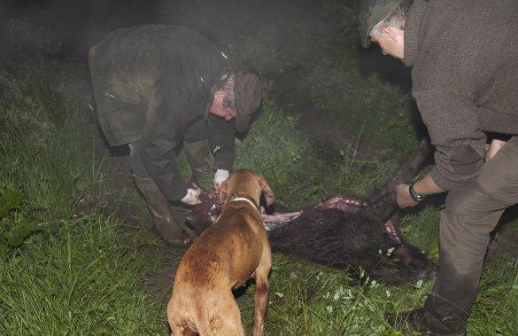 Vildsvinejagt er eftertragtet og mange jægere vil derfor gerne bevare en bestand. Her er nogle jægere ved at fjerne indvoldene fra en netop skudt gris.