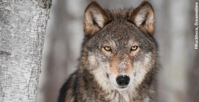 Indtil videre angiver dna-beviserne kun spor af han-ulve.
