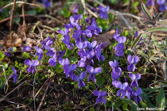 Violer er en af de mange, vilde blomster, der fint kan spises.