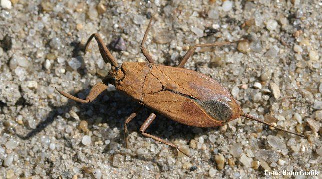Skorpionstægen kan overfladisk minde lidt om en skorpion. deraf navnet.