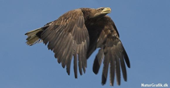 Havørnen er Europas største ørn og Nordeuropas største rovfugl med et vingefang på ca. 2,5 meter.
