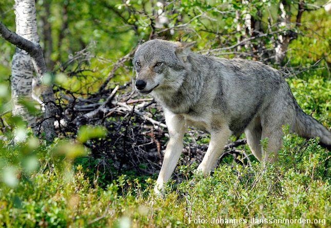 Et påstået ulveangreb på en mor med barnevogn viste sig heldigvis at være overdrevet. Tragisk nok blev familiens hund angrebet. Johannes Jansson/norden.org